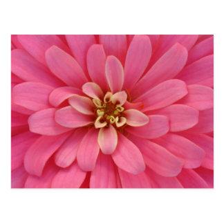 Postal rosada de la flor del Zinnia