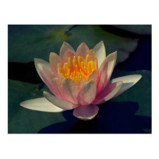 Postal rosada de Lotus Waterlily