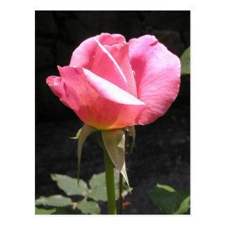 Postal rosada del capullo de rosa