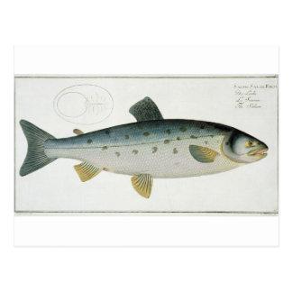 Postal (Salmo Salar) placa de color salmón XX de