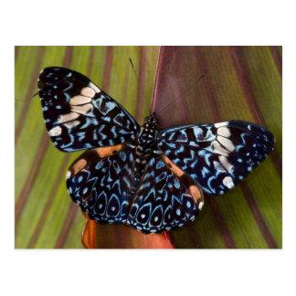 Postal Sammamish, Washington. Mariposas tropicales 54