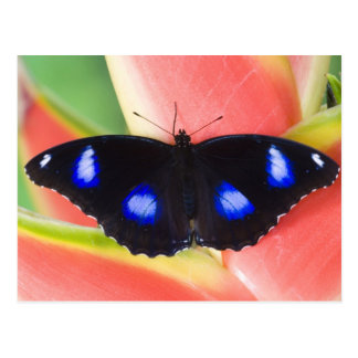 Postal Sammamish, Washington. Mariposas tropicales 58