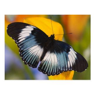 Postal Sammamish, Washington. Mariposas tropicales 61