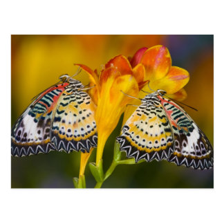 Postal Sammamish, Washington. Mariposas tropicales 68