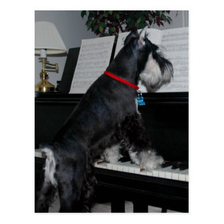 Postal Schnauzer miniatura en el piano