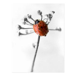 Postal Señora Bug en la flor del eneldo con rocío