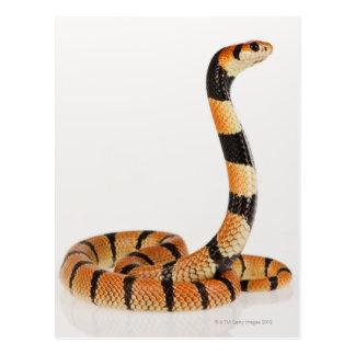 Postal Serpiente coralina africana (lubricus del