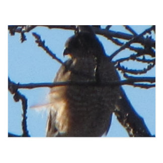 Postal Shinned sostenido del halcón 2