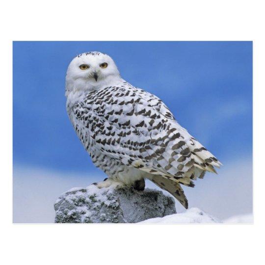 Postal Snowy Owl (Bubo scandiacus)
