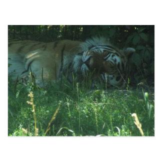 Postal soñolienta del tigre