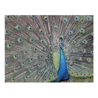 Postal Suramérica, Venezuela, exhibición del pavo real