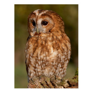 Postal Tawny Owl (Strix aluco)