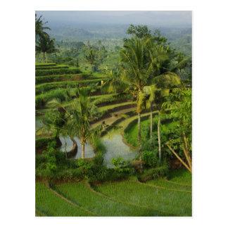 Postal Terraza Ricefield en Bali
