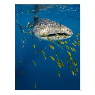 Postal Tiburón de ballena con los pescados, Indonesia