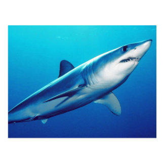 Postal Tiburón de Mako de Shortfin