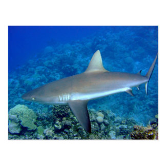 Postal Tiburón gris del filón