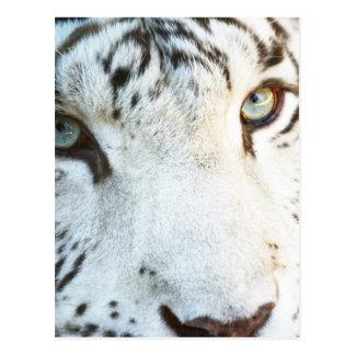Postal Tigre blanco