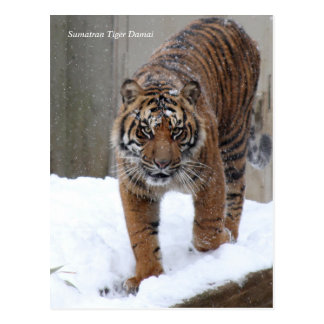 Postal Tigre Damai de Smithsonian el   Sumatran