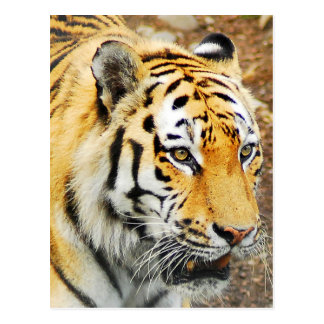 Postal Tigre de Amur