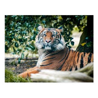 Postal Tigre de Sumatran