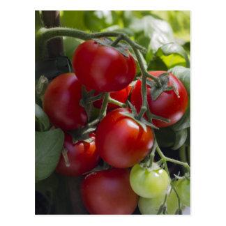 Postal tomates en el jardín