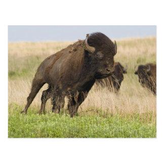 Postal Toro joven del bisonte de Fiesty en el Tallgrass