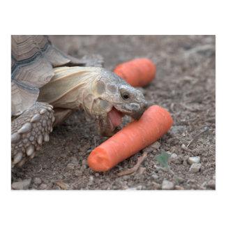 Postal tortuga del sulcata