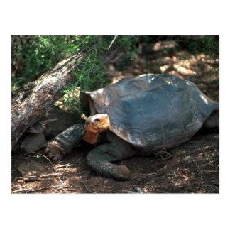 Postal Tortuga ensillada gigante que se acuesta