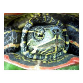 Postal Tortuga pintada (picta del Chrysemys) 2