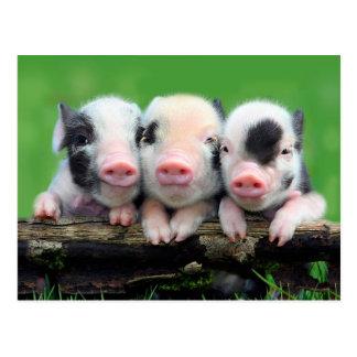 Postal Tres pequeños cerdos - cerdo lindo - tres cerdos