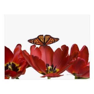 Postal Tres tulipanes rojos y una mariposa de monarca