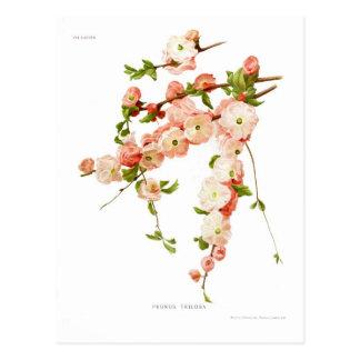 Postal Triloba del Prunus (almendra floreciente)