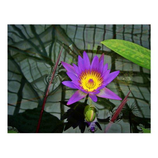 Postal tropical púrpura del lirio de agua
