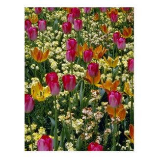 Postal Tulipanes blancos en flores del parque de