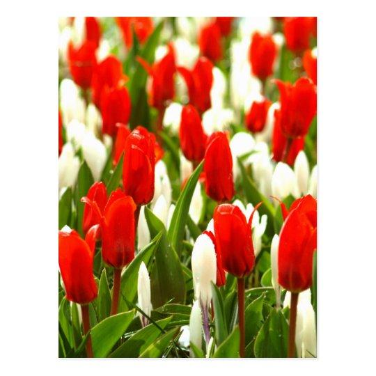 Postal Tulipanes rojos y blancos