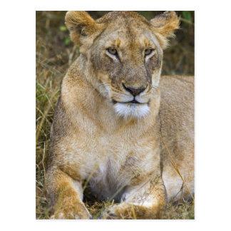 Postal Un león que sienta la alta hierba del Maasai