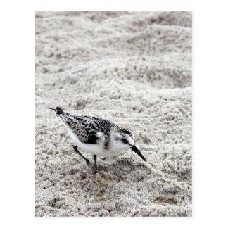 Postal Un pájaro joven del chorlito nevado