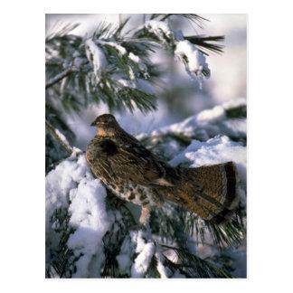 Postal Urogallo superado encaramado en un árbol nevoso