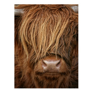Postal Vaca escocesa de la montaña - Escocia