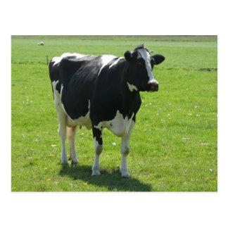 Postal Vaca holandesa del Frisian en prado verde