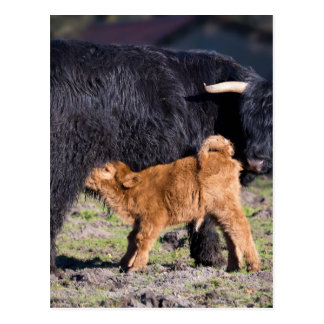 Postal Vaca y jóvenes escoceses negros de la madre del