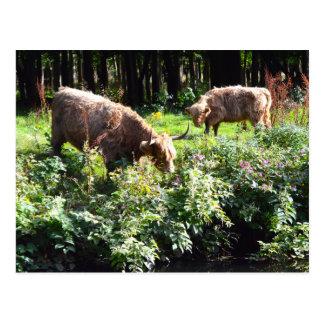 Postal Vacas de la montaña que pastan. Glasgow, Escocia