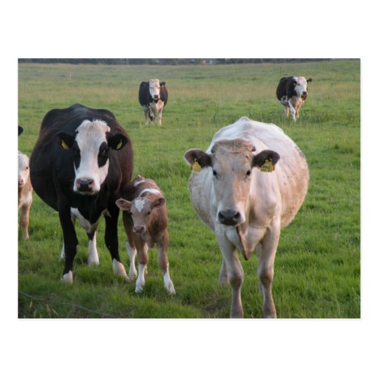 Postal Vacas irlandesas