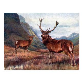 Postal vieja - ciervo común