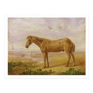 Postal Viejo Billy, un caballo de proyecto, envejecido 62