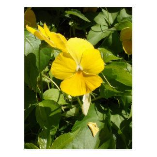 Postal Viola 'Yellow gigante suizo