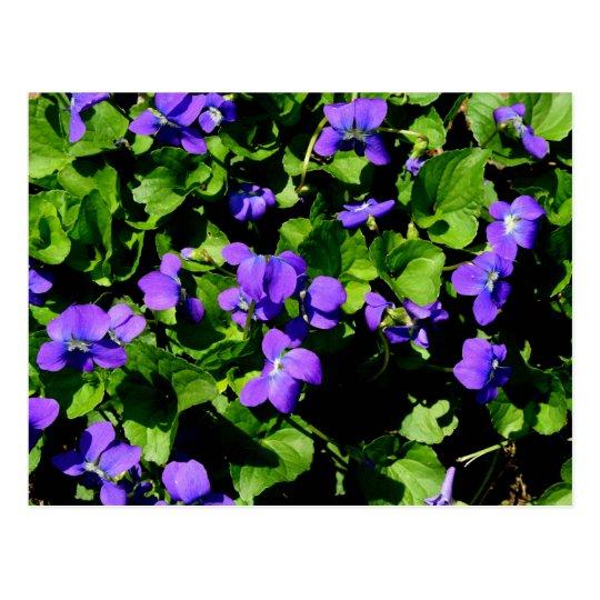 Postal violeta