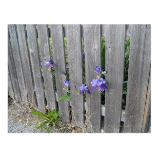 Postal Violetas a través de la cerca