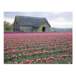 Postal WA, valle de Skagit, campo del tulipán y granero