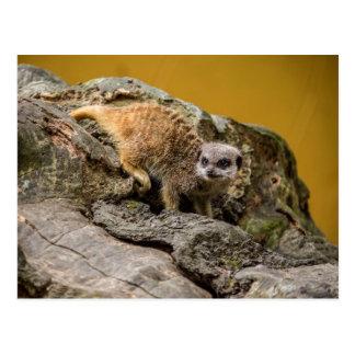 Postales lindas de Meerkat